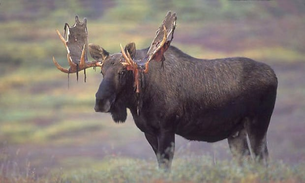 application for moose licence in newfoundland
